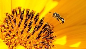 Stosowanie środków ochrony roślin w sposób bezpieczny dla pszczół