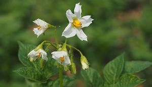 Informacja o zmianie najwyższych dopuszczalnych poziomów pozostałości chloropiryfosu i ograniczeniach w stosowaniu środków ochrony roślin