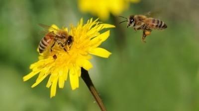 Komunikat o konieczności przestrzegania zasad stosowania środków ochrony roślin w sposób bezpieczny dla pszczół