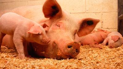 Informacja dla posiadaczy zwierząt - zapobieganie szerzeniu się afrykańskiego pomoru świń.