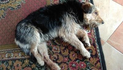 Poszukiwany właściciel psa w Jabłonnie