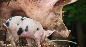 Informacja dotycząca Afrykańskiego pomoru świń