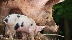 Informacja dla hodowców dotycząca afrykańskiego pomoru świń