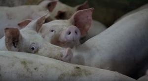 """Film edukacyjny pt.: """"Afrykański pomór świń – zasady ochrony świń przed chorobą"""""""