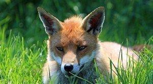Informacja - zrzut szczepionki przeciwko wściekliźnie dla lisów