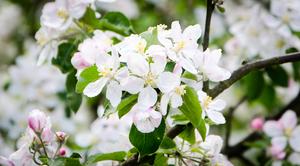 ZAPROSZENIE: na Święto Kwitnących Sadów w Dziuchowie