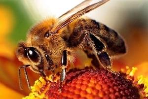 Komunikat - jak zapobiegać wymieraniu pszczół