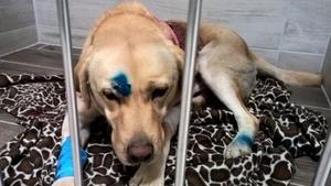 Poszukiwany właściciel labradora - pies po wypadku w Jakubowicach Konińskich