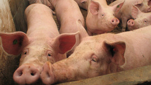 INFORMACJA: Pomoc dla producentów trzody chlewnej - ASF