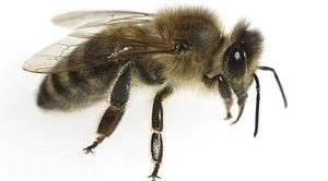 KOMUNIKAT: Środki ochrony roślin - bezpieczeństwo pszczół
