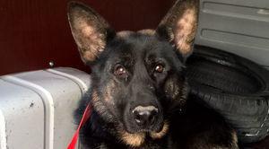 Odłowiono rocznego psa w typie owczarka niemieckiego