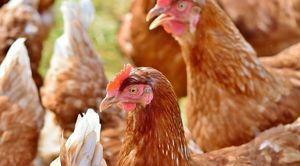 Informacja o ptasiej grypie