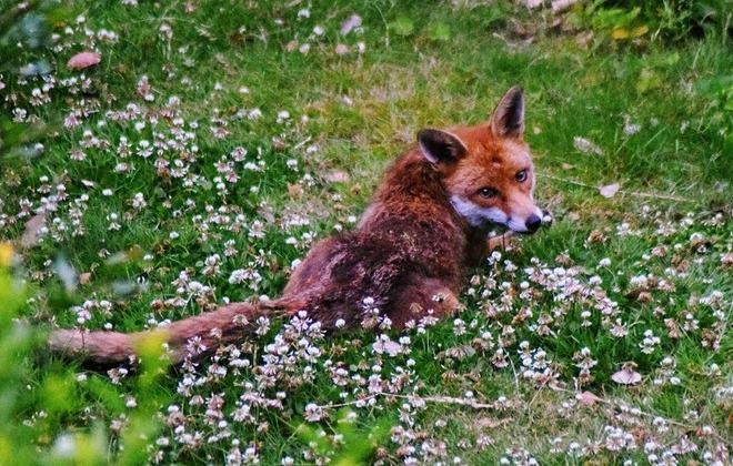 Ochronne szczepienie lisów wolno żyjących