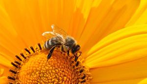 Komunikat - ochrona pszczoły miodnej