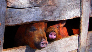 Ostrzeżenie Powiatowego Lekarza Weterynarii w związku z afrykańskim pomorem świń