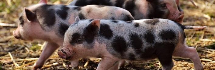 Odpowiedź MRiRW w sprawie pomocy dla hodowców świń