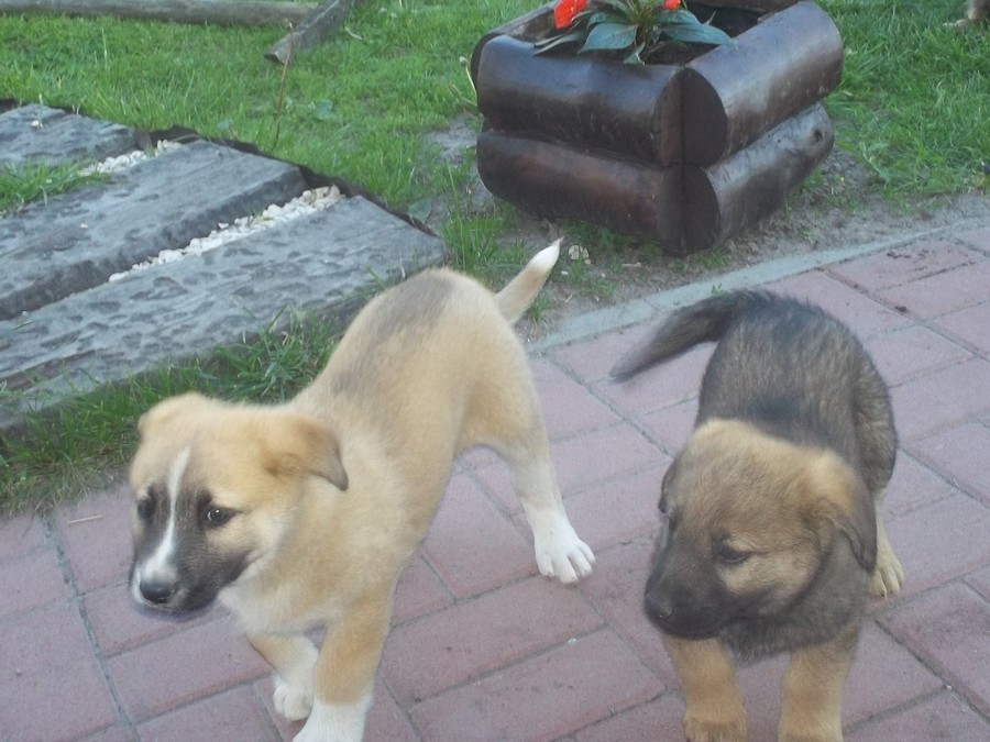 Gmina Annopol poszukuje chętnych do przygarnięcia psów