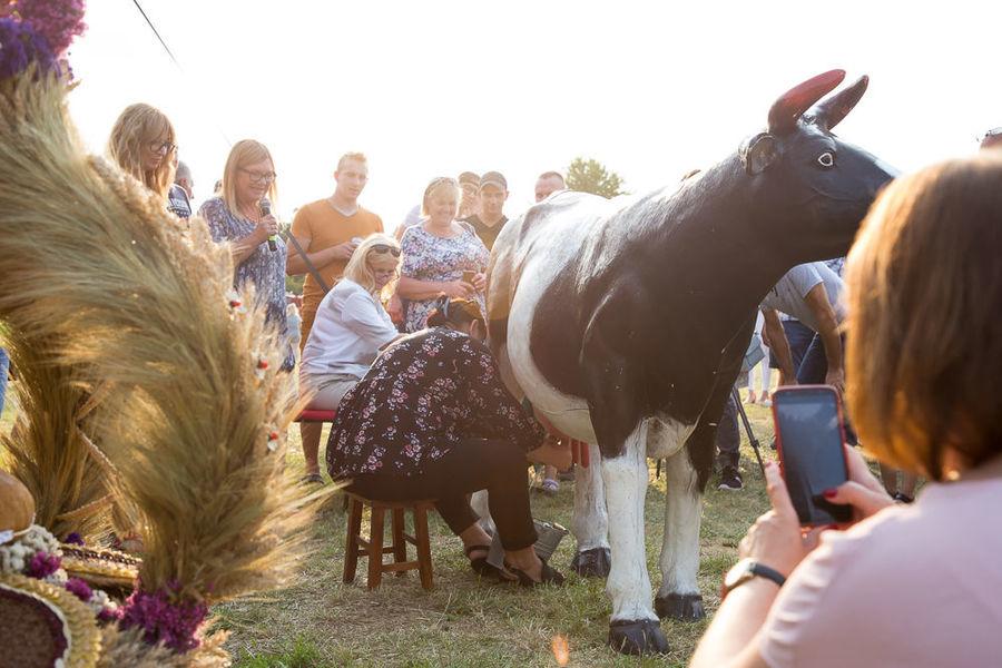 Na zdjęciu dojenie sztucznej krowy