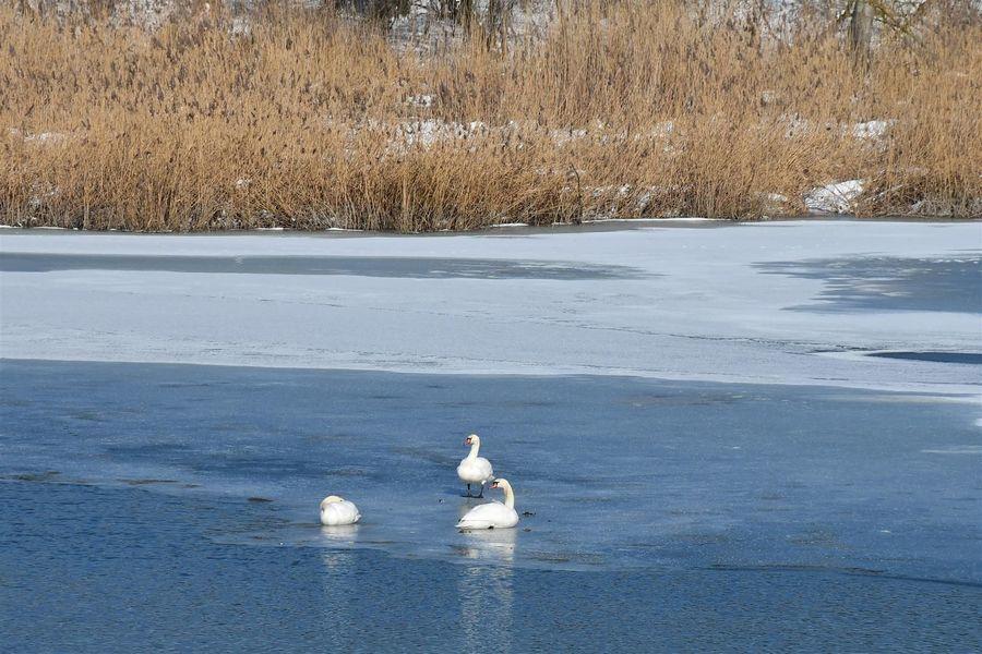 Łabędzie na lodzie