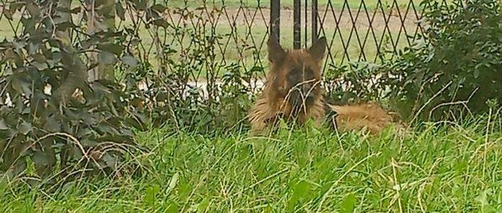 pies leżący na trawie