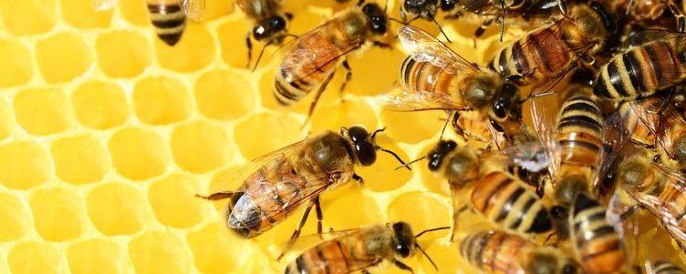 Pszczoły na klastrze miodu