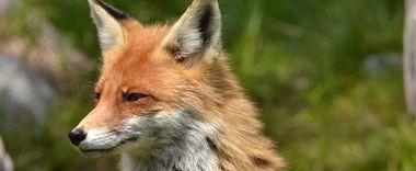 Informacja w sprawie szczepionki dla lisów wolno żyjących przeciw wściekliźnie