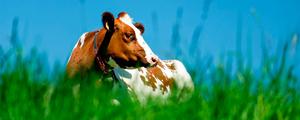 Wsparcie dla producentów ograniczających produkcje mleka