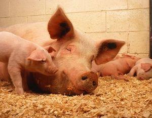 Rozporządzenie w sprawie zwalczania afrykańskiego pomoru świń na terenie powiatu ryckiego