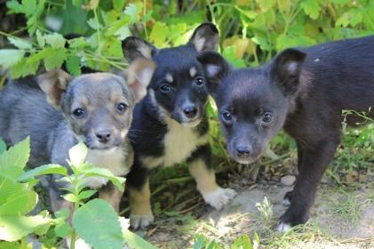 szukamy domu dla trzech małych szczeniaków