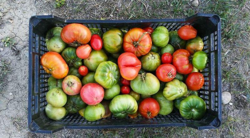 Kosz Pomidorów