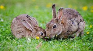 Dwa króliki