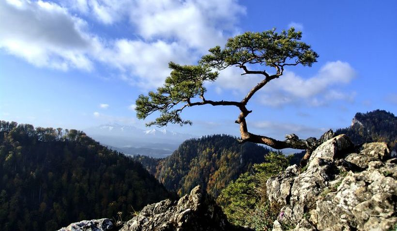 Pieniny, zdjęcie przedstawia drzewo rosnące na skałach.