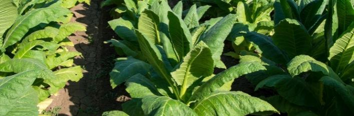 Rosnący tytoń