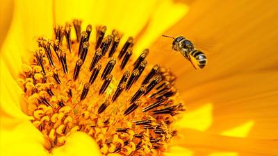 Ochrona pszczoły miodnej