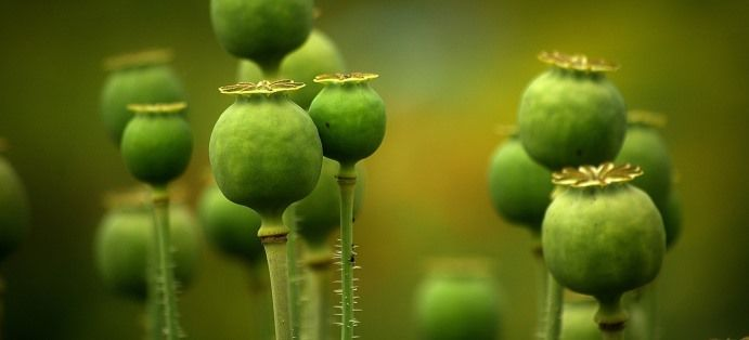 Informacja w sprawie rejonizacji upraw maku i niskomorfinowego i konopii włóknistych