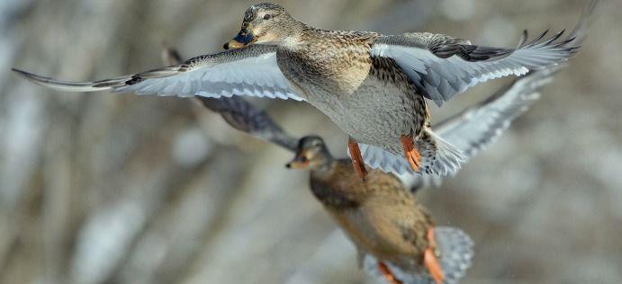 Polowanie zbiorowe na kaczki