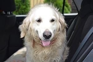 Znaleziono psa rasy Golden retriever