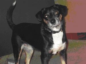 Zaginął pies - Dys okolice ulicy Topolowej.