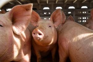 Broszura informacyjna o afrykańskim pomorze świń