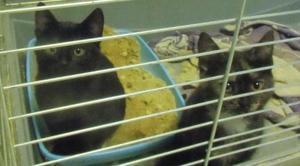 Poszukujemy domu dla dwóch, porzuconych przez matkę 4-miesięczych kotek.