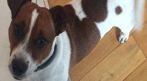 Zaginął pies rasy Jack Russell Terrier