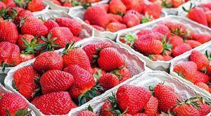 Praca sezonowa przy zbiorze truskawek - Gmina Załuski