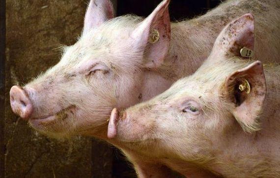 Dwie świnie