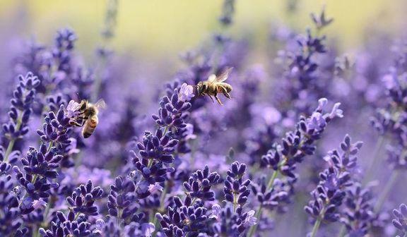 Pszczoły na lawędzie