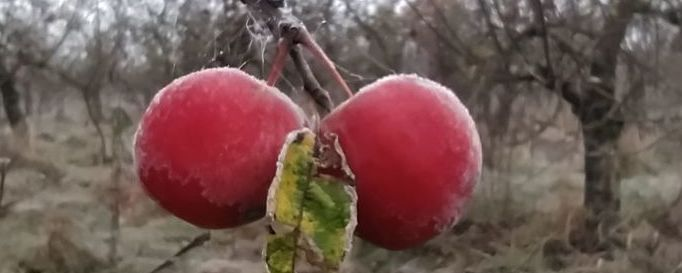 Oszronione jabłka