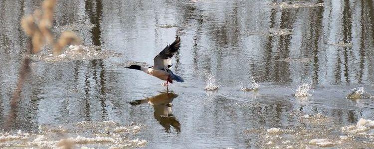 Startujący ptak na Wiśle