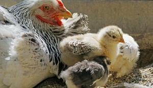 Rozporządzenie Ministra Rolnictwa i Rozwoju Wsi w sprawie zarządzenia środków związanych z wystąpieniem wysoce zjadliwej grypy ptaków