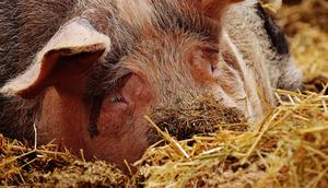 Ogniska afrykańskiego pomoru świń na Lubleszczyźnie