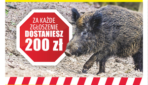 Marszałek Województwa Lubelskiego apeluje: Znalazłeś martwego dzika innego niż zabity w wypadku komunikacyjnym?