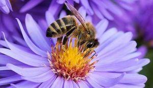 Grafika przedstawia pszczołę siedzącą na fioletowym kwiatu